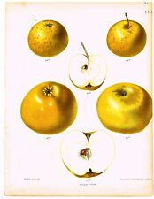 """Berghuis's  Fruits - """"YELLOW APPLES"""" - by J.B. Wolters - Chromolithograph - 1860"""