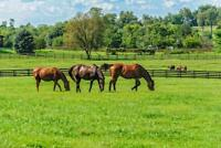 Thoroughbred Horses Grazing in Pasture Photo Art Print Poster 24x36 inch