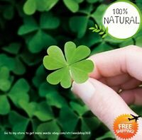 Arrival / Bag Seeds Plants Bonsai Four Leaf Clover Trifolium Repens 100pcs