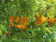 Árbol de fuego - GREVILLEA ROBUSTA - 8 Semillas