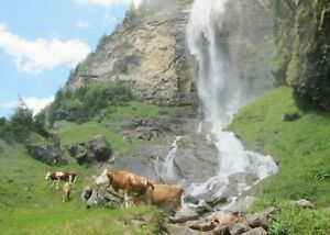 Cows in a field with a mountain and waterfall animal blank card - male / female
