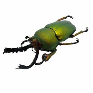 Saw Tooth Green Stag Beetle (lamprima adolphinae) Insect Collector Specimen