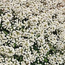 400 Graines d ALYSSE ODORANTE BLANC TAPIS DE NEIGE / En Couvre-sol Fleuri