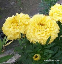 Tagetes Gelb Gefüllt 50+ Samen *Чорнобривці *Tagetes Samen *Blumensamen
