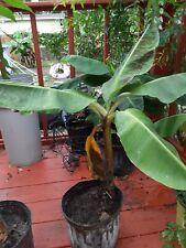 "ORGANIC BANANA Fruit Tree ""Musa Dwarf Cavendish"" LIVE PLANT Edible."