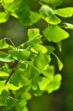 Ginkgo Biloba Maidenhair Tree,60-90cm Tall, Ginkgo Tree, Stuning Colours