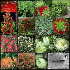 8 Mixed Bottlebrush Callistemon Shrubs/Trees Native Plants Bottle Brush Flowers