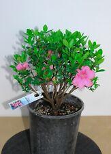 Satsuki hybrid azalia flowering bonsai tree 'Rosebud' - small,round, pale pink