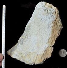 Large Titanothere Fossil Horn, Brontothere, Badlands South Dakota, T368