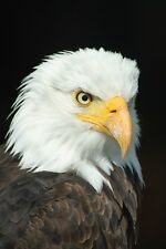 EAGLE FLYING ANIMAL BIRD POSTER PRINT STYLE B 24x36 9MIL PAPER
