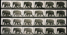 "Eadweard Muybridge Photo, Vintage Motion Study, ""Elephant Walking""  1880s"