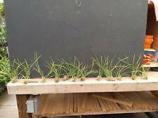 Encyclia bractescens alba 'Maj' X self Bs Orchid Plant divisions bare root