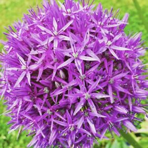 10 x GIANT Allium PURPLE SENSATION Perennial Garden Plant Bulbs