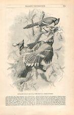 John James Audubon ornithologue/Geai bleu Cyanocitta cristata GRAVURE 1852