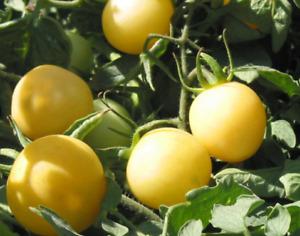 10 graines Tomate cerise blanche Cherry Ghost ancienne mi saison rustique