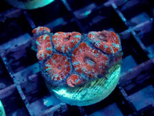Peppermint Ultra Acan Lord -Wysiwyg Live Coral Frag- Coral Savers