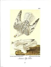 Iceland or Gyr Falcon - Bird Print by John James Audubon