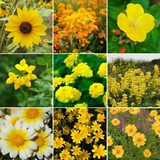 5O0+ Ole Yeller - Exclusive Yellow Wildflower Seed Mix 9 Species of Wildflower