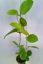 Hoya balensis [B17J1],1 pot rooted plant20-22 inches Unique!