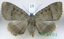 Mormo maura (Linnaeus, 1758) Poland19