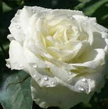 Beautiful White Rose Seeds 80 Seeds --BUY 4 ITEMS FREE SHIPPING