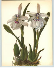 1922 Color Book Plate Framable Orchid Images Miltonia spectabilis White Wine Red