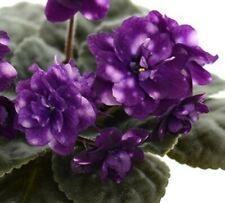 African Violet Optical Illusion - Starter Plant/Plug