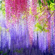 10PCS Floribunda Wisteria Tree Vine Seeds Flower Seed DIY Easy To Plant w87