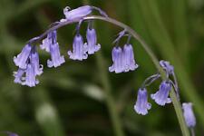 Jacinthe des Bois de HALLE Hyacinthoides non-scripta 300 GRAINES 300 Seeds
