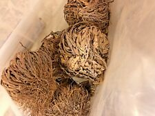 Rose of Jericho Plant Spike Moss Air Fern 1 per bag