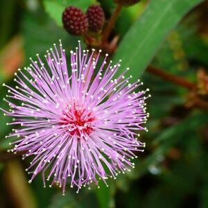 50 MIMOSA PUDICA SEEDS (SHY PLANT / SENSITIVE PLANT SEEDS) - 50 SEEDS