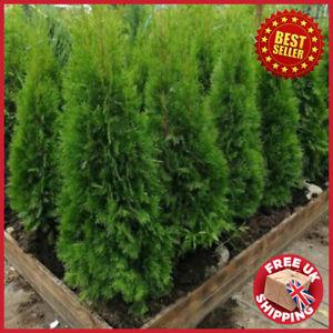 Evergreen Bushy Thuja occidentalis Smaragd Hedging Conifers Trees 9cm pots