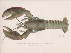 Original Antique Crustacean Print: American Lobster, Male by S. F. Denton 1902