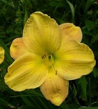 """Brutus Daylily Huge 7"""" Blooms 24"""" Tall Yellow With Bronze Highlights 2 Fans"""