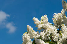 'Madame Lemoine' Syringa Vulgaris-Branched Lilac Tree 1ft Tall Shrub in a 2L Pot
