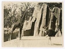 PARIS ZOO PHOTOGRAPHIE ARGENTIQUE 1920 VINTAGE PHOTOGRAPH WIDE WORLD PHOTOS