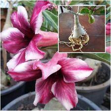 "Adenium Obesum Desert Rose Impala Lily ""Purple-White"" Grafted 1 Plant Fresh Thai"