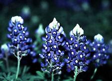 TEXAS BLUEBONNET FLOWER SEEDS  *****