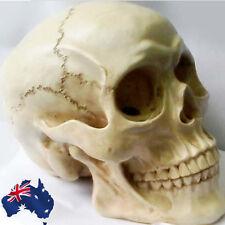 Lifesize Human Skull Replica Resin Model Anatomical Medical Skeleton GSKEL2301