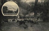 Springe Niedersachsen ~1910 Fütterung im Kaiserlichen Saupark Wildschweine Tiere