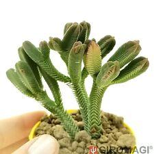 Crassula pyramidalis f. variegated クラッスラPOTØ6,5cm - GIROMAGI Cactus