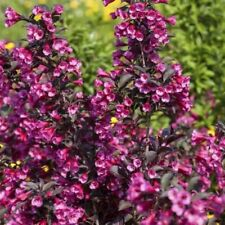 Ausgewachsene-Pflanzen-Strauchpflanzen für Schluff-Boden und volles Sonnenlicht