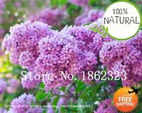 Bonsai Lilac Bonsai Seeds Plants Japanese (extremely Fragrant)clove 100pcs/bag