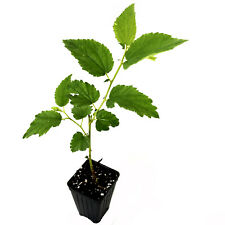 Muntingia calabura Yellow Jamaican Cherry LIVE PLANT tropical fruit tree