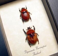 Real Framed Peperonota Harringtoni Pair Orange Scarab Beetle 8467