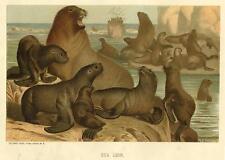 1885 Prang Chromo Sealions/Sea Lions/Walrus/Seal Wonderful Print L@K!