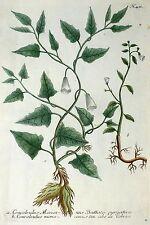 Süsskartoffel/batate-Convolvulus mexicanus-Weinmann-rame chiave 1739