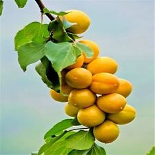 Seeds Rare Apricot Tree Organic Fruit Garden Fruit Plant 2Pc Bonsai Can Be Eaten