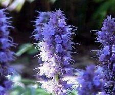 Kräuterpflanze Anis-Ysop der leckere Nektar, der Schmetterlinge glücklich macht