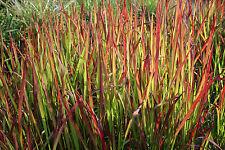 """Japanisches Blutgras, Imperata cylindrica """"Red Baron"""""""
